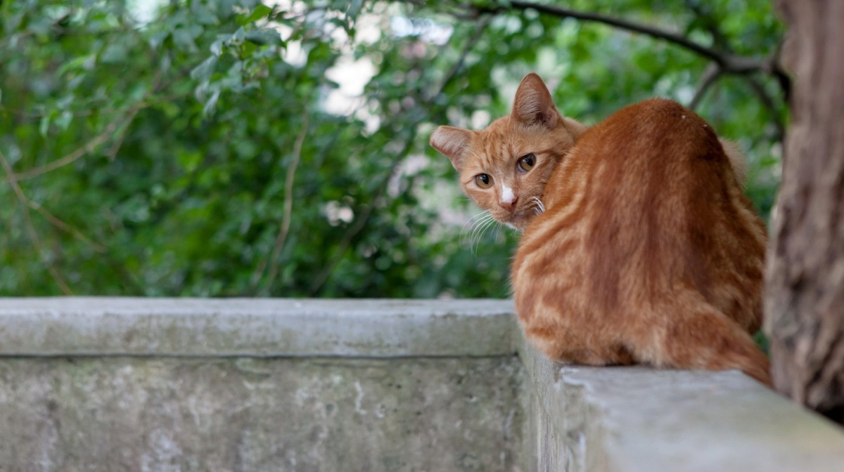 Недержание мочи у кошек
