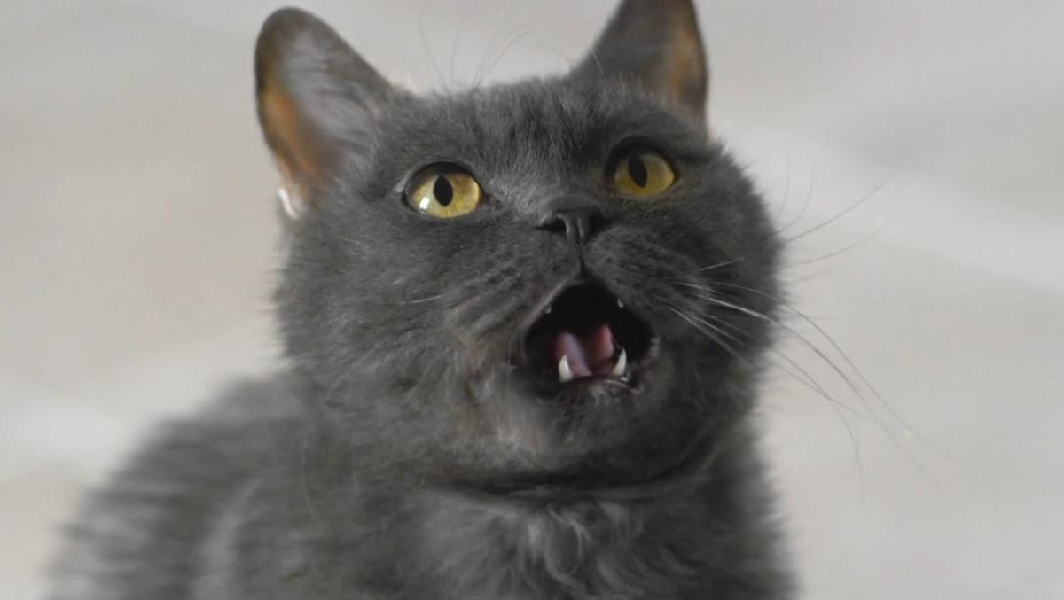 Когда выпадают молочные зубы у кошек