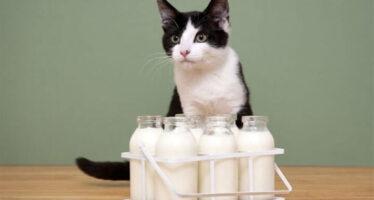 котята и молоко