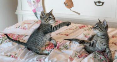 До какого возраста котята играют