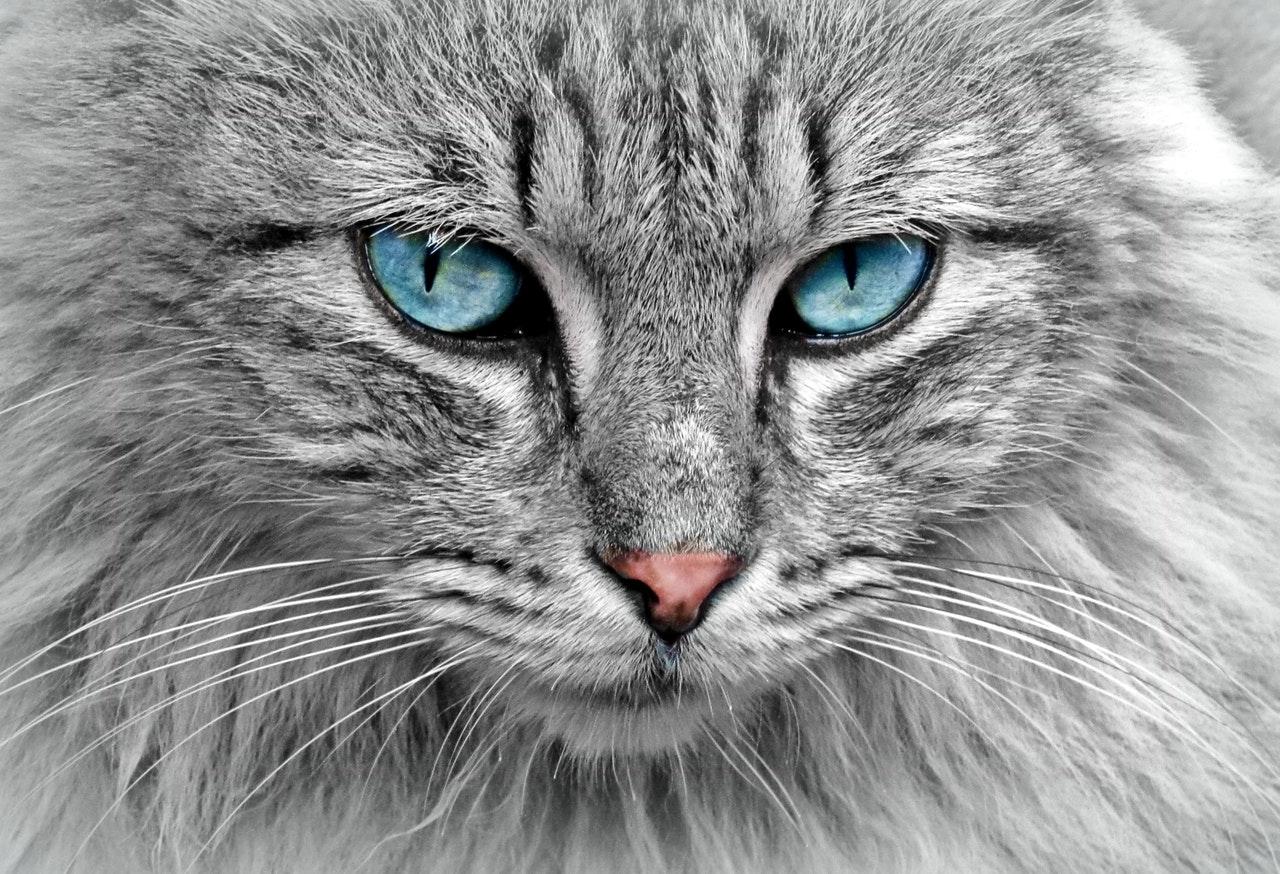 Может ли кот заболеть коронавирусом?